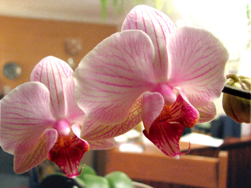 Oma's Orchids